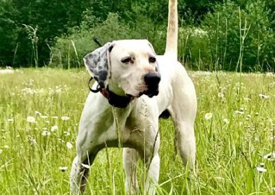 Started English Pointer (Adopted)