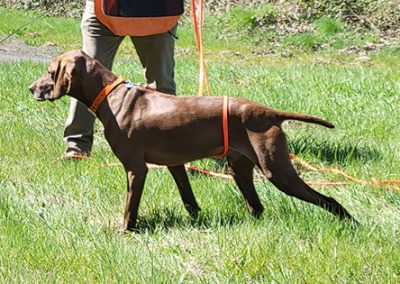 Hank – Pudelpointer (Adopted)