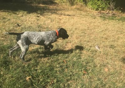 Dexter – German Shorthaired Pointer (Adopted)