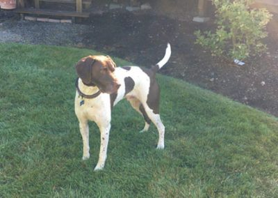 Duke – German Shorthaired Pointer (Adopted)