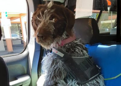 Pepper – German Wirehaired Pointer (Adopted)