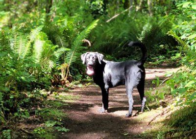 Boomer – Labrador Retriever